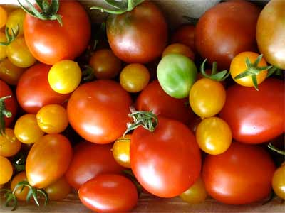 Three varieties of tomato